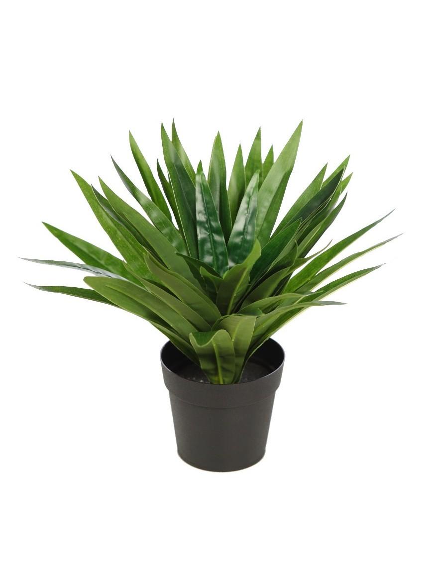 Planta dracena v en maceta 30cm - Hierba luisa en maceta ...