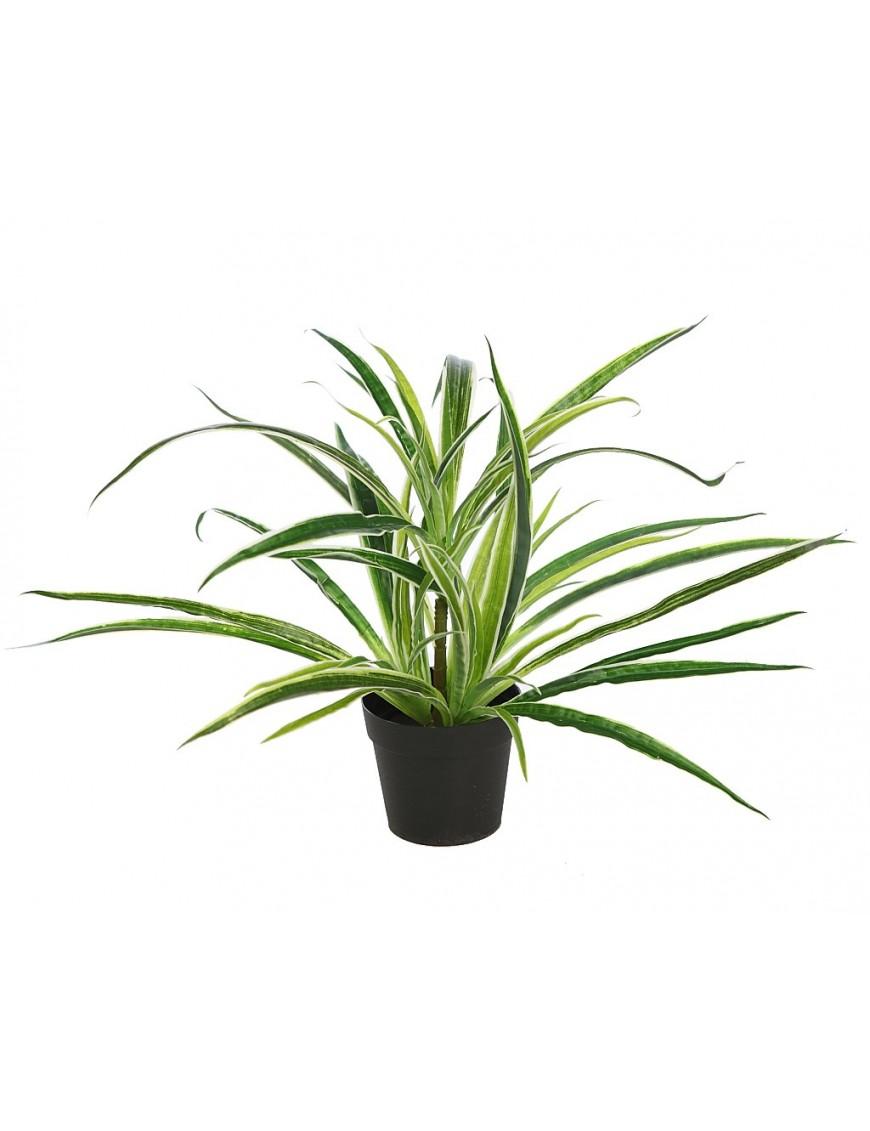 Planta cinta clorofito con maceta comprar al mejor - Cinta planta ...