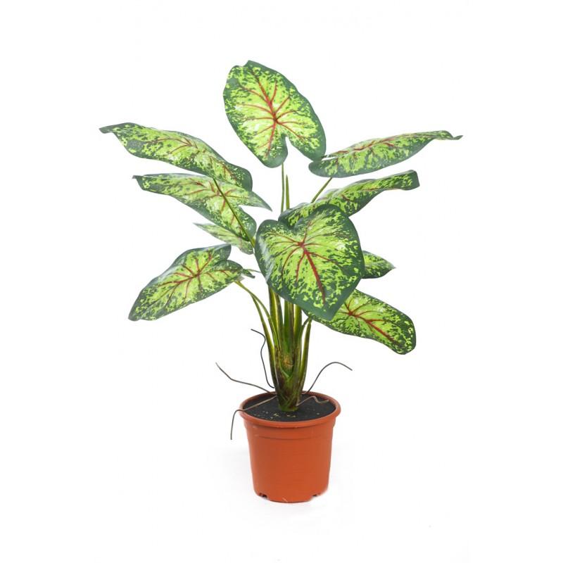 Planta caladium 51cm en maceta - Plantar en maceta ...