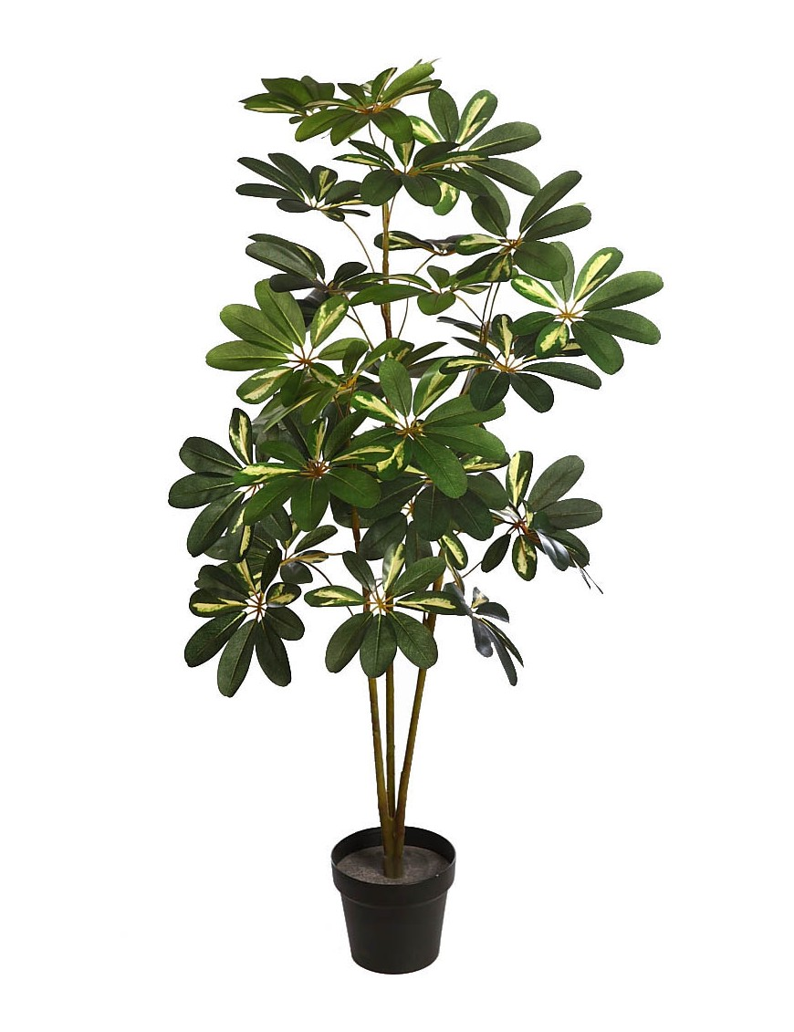 Planta cheflera x3 en maceta 120cm - Hierba luisa en maceta ...